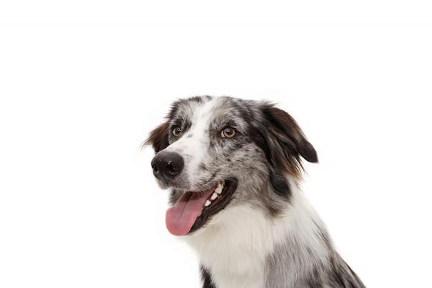 Profilo laterale felice blu merle border collie con dente bianco. isolato Foto Premium