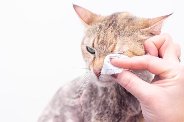 Pulire gli occhi del gatto con un batuffolo di cotone Foto Premium