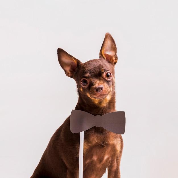 Puntello di cravatta a farfalla vicino al collo del cane di giocattolo russo marrone isolato su fondo Foto Gratuite