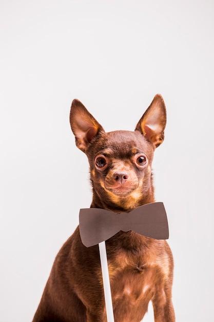 Puntello marrone bowtie vicino al collo del cane giocattolo russo Foto Gratuite