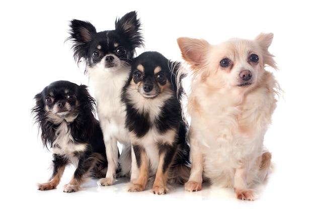 Quattro chihuahua Foto Premium