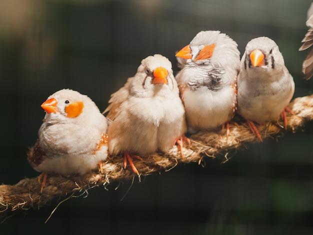 Quattro uccellini che si siedono sulla corda sul fondo del bokeh. animale, uccello, amore, concetto di famiglia. Foto Premium