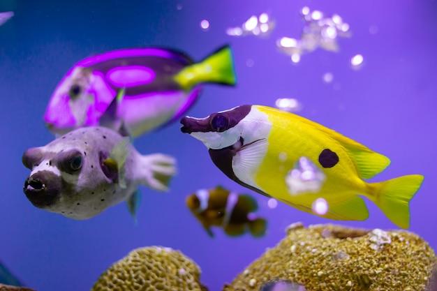 Rabbitfish di foxface all'oceano della tailandia Foto Premium