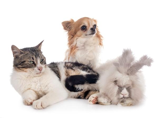 Rabit, gatto e chihuahua Foto Premium