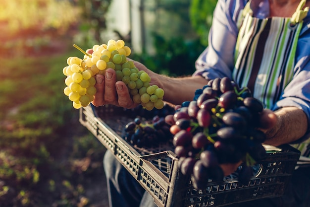 Raccolta autunnale. coltivatore raccolta delle uve in fattoria ecologica. uomo senior felice che tiene l'uva verde e blu Foto Premium