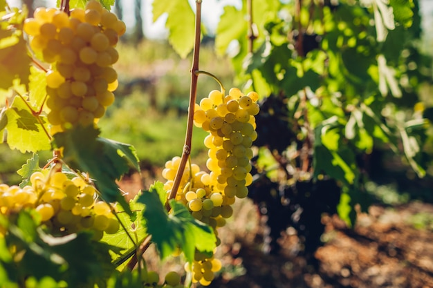 Raccolto autunnale di uva da tavola in fattoria ecologica, uva verde appesa in giardino, Foto Premium