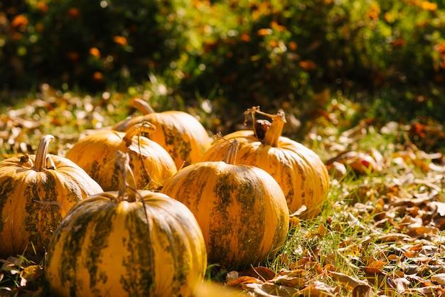 Raccolto giallo di autunno del fondo della zucca, spazio della copia Foto Premium