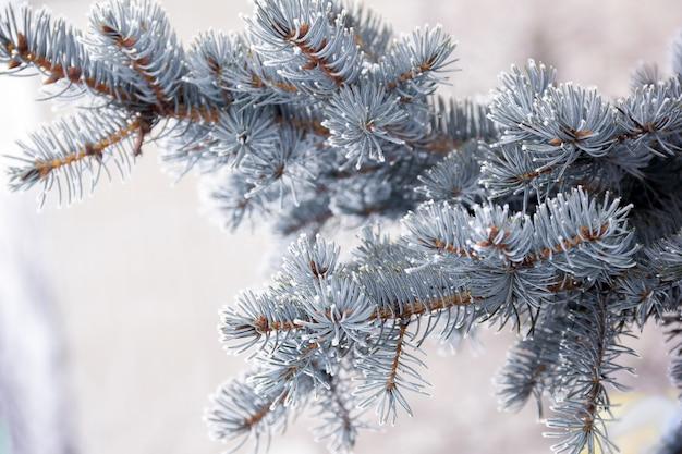 Rametto di abete blu coperto di neve Foto Premium