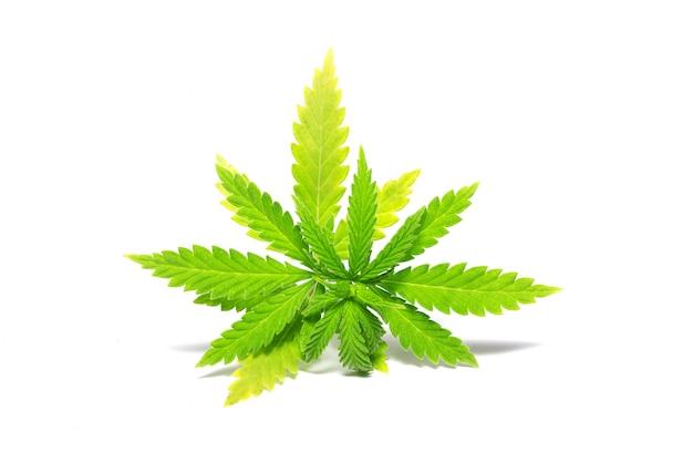 Rametto di cannabis verde, isolato, droghe illegali Foto Premium
