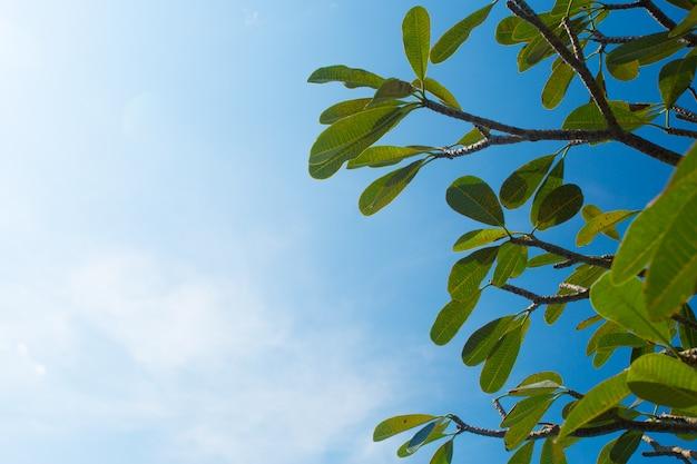 Rami di albero del frangipane contro chiaro cielo blu Foto Premium