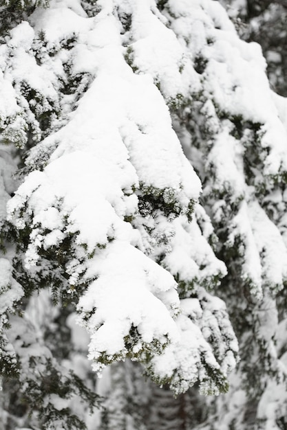 Rami e foglie di pino sotto la neve Foto Gratuite