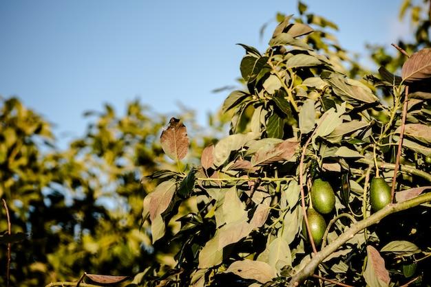 Rami pieni di avocado di pelle ruvida in una piantagione. Foto Premium