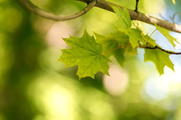 Ramo con foglie di acero verde Foto Premium