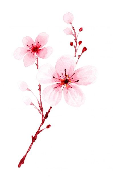 Ramo dell'acquerello sakura dipinto a mano. Foto Premium
