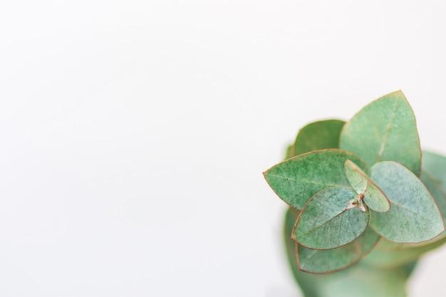 Ramo dell'eucalyptus del dollaro d'argento su fondo bianco. Foto Premium