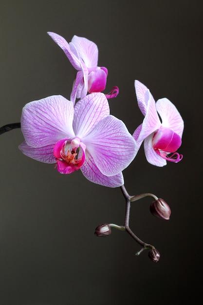Ramo dell'orchidea di phalaenopsis su fondo scuro Foto Premium