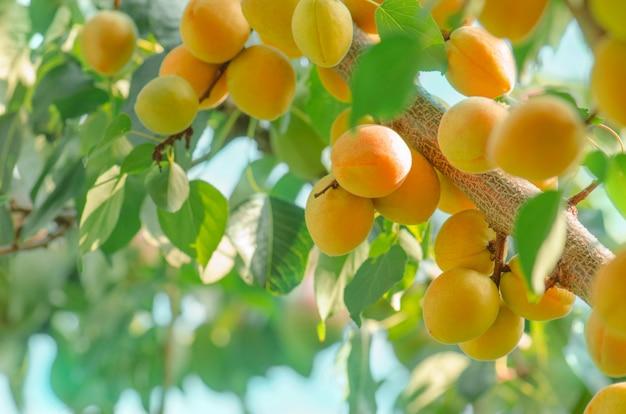 Ramo di albero di albicocca con frutti maturi Foto Premium