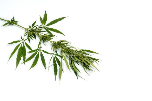 Ramo di cannabis con foglie di cinque dita Foto Premium