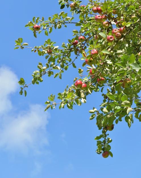Ramo di melo con frutti rossi che crescono su sfondo blu cielo Foto Premium