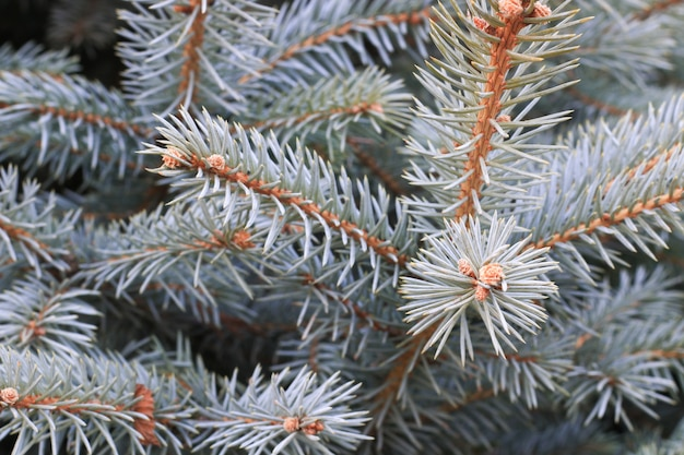 Ramo di pino del primo piano Foto Gratuite