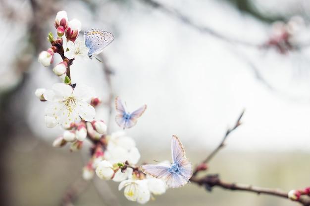 Ramoscelli di ciliegio in fiore ramoscello con farfalle blu, sfondo naturale primavera Foto Premium