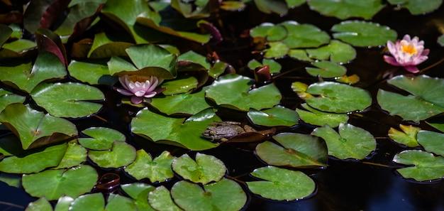 Rana verde in uno stagno Foto Premium