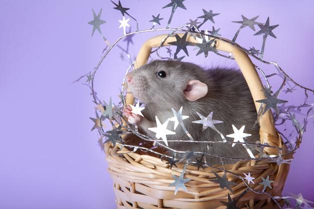 Ratto di dumbo affascinante in un cestino di vimini Foto Premium