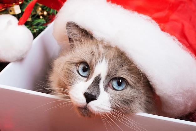 Razza di gatto ragdoll su uno sfondo di natale Foto Premium