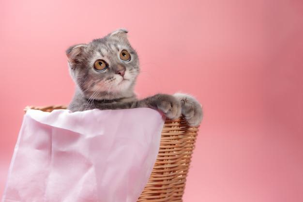 Razza di gatto scottish fold, età 3 mesi nel carrello. piccola piega scozzese gatto gattino carino zenzero nell'animale domestico birichino si sente felice e gatto adorabile a suo agio. amore per il concetto di animali domestici. Foto Premium