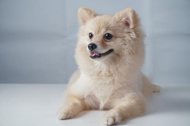 Razze di cani di piccola taglia o pomeranian con peli marroni accovacciati o sdraiati sul tavolo bianco Foto Premium