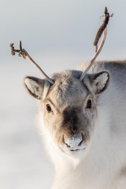 Renna selvaggia delle svalbard, rangifer tarandus platyrhynchus, ritratto di un animale delle curiosità con le piccole corna nelle svalbard, norvegia. Foto Premium