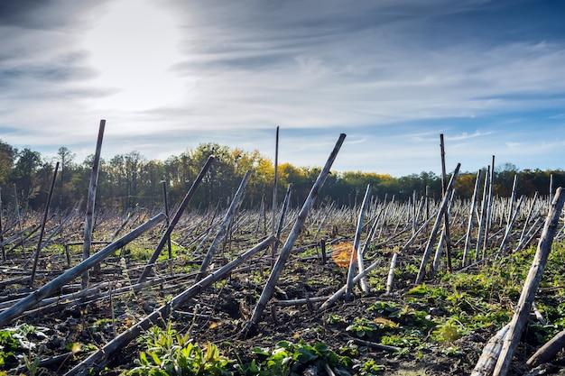 Residui di girasole dopo la raccolta prima del guadagno nel terreno e trasformazione da parte di un biodestruttore Foto Premium