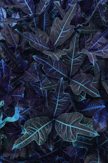Reticolo tropicale dei fogli nel colore blu della pianta di codiaeum Foto Premium