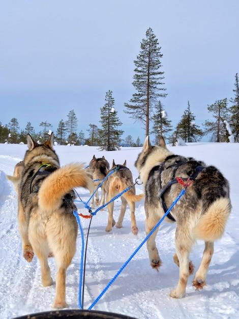 Retrovisione dei cani che sledding sul paesaggio innevato Foto Premium