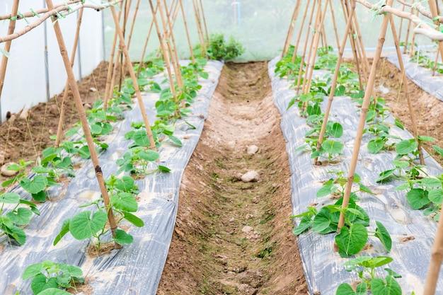 Righe di giovani piante di melone che crescono in vivaio di grandi dimensioni. Foto Premium