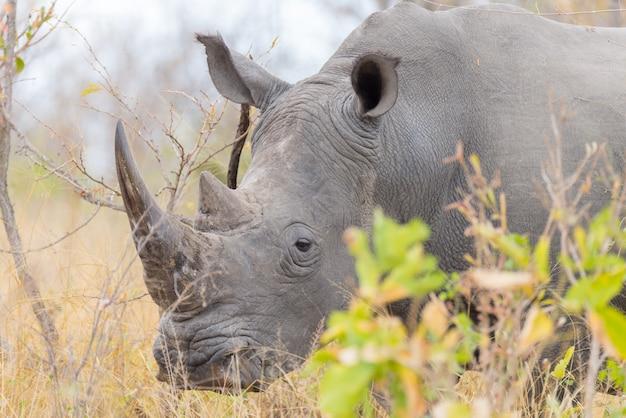 Rinoceronte bianco e ritratto con dettagli delle corna Foto Premium