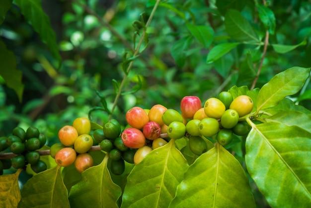 Ripe arabica coffee corp sul ramo di un albero Foto Premium
