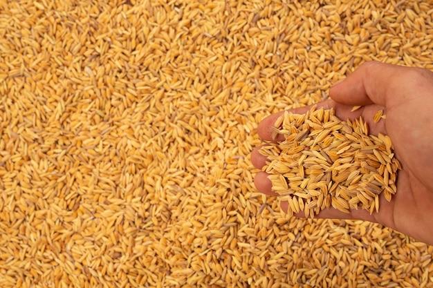 Risaia nelle mani di uomini con una risaia. Foto Gratuite