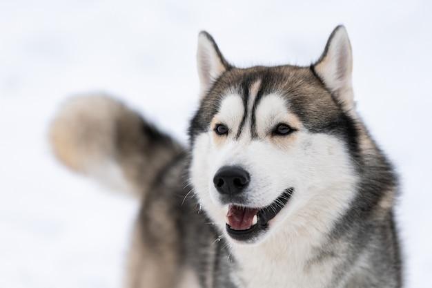 Ritratto del cane del husky, fondo nevoso di inverno. animale domestico divertente sulla camminata prima dell'addestramento di cani da slitta. Foto Premium