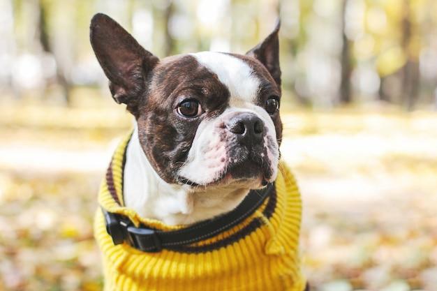 Ritratto del cane di boston terrier nel parco di autunno Foto Premium