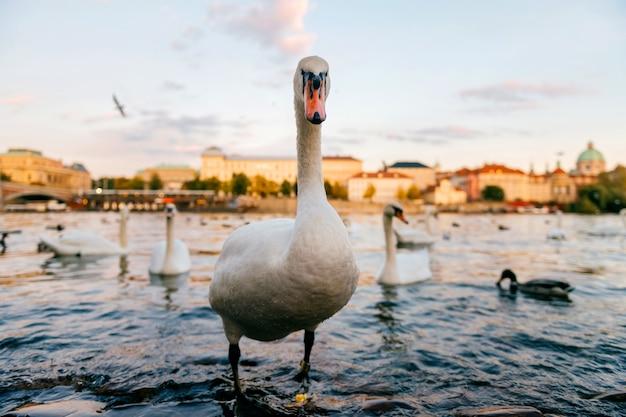 Ritratto del cigno che sta nel fiume di praga Foto Premium
