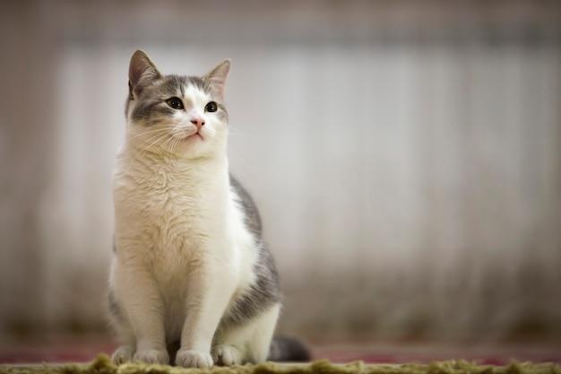 Ritratto del gatto bianco e grigio piacevole con gli occhi verdi che si siedono all'aperto che guardano diritto verso l'alto sul soleggiato leggero vago. Foto Premium