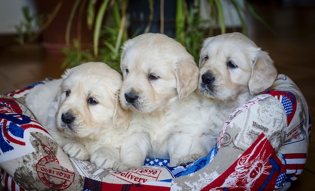 Ritratto del primo piano dei cuccioli adorabili di golden retriever di due mesi Foto Premium