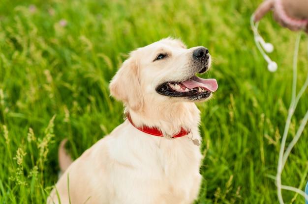 Ritratto del primo piano del cane felice bianco di golden retriever nel fondo di estate Foto Premium