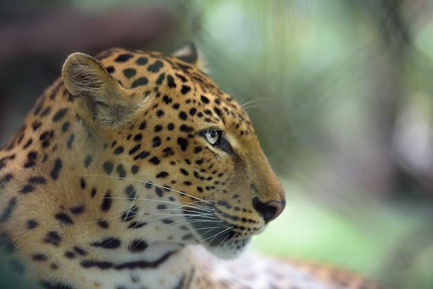 Ritratto del primo piano di giaguaro Foto Premium