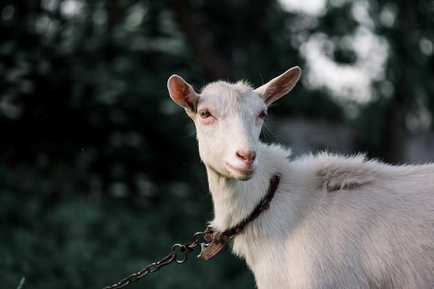Ritratto dell'erba bianca bianca della capra adulta su una fattoria degli animali Foto Premium