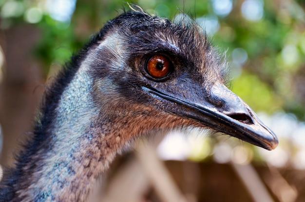 Ritratto dell'uccello australiano dell'emù (dromaius novaehollandiae). vista della fine della testa e del collo di un emu su concetto della natura e della natura. Foto Premium