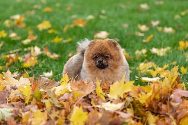 Ritratto di autunno di giovane cane dello spitz di pomeranian sull'erba in foglie cadute gialle. Foto Premium