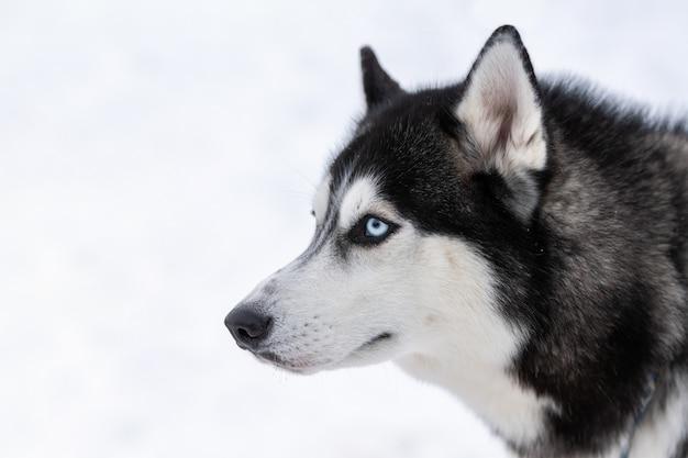 Ritratto di cane husky animale domestico divertente sulla camminata prima dell'addestramento di cani da slitta. Foto Premium
