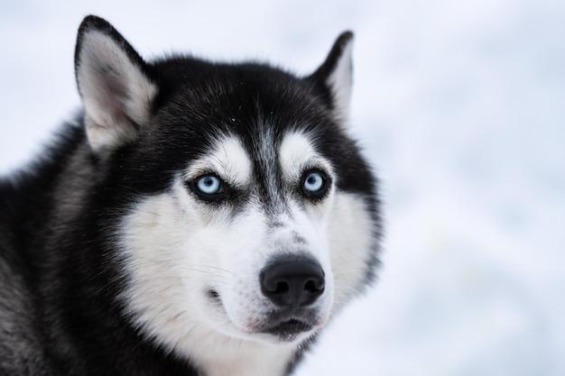 Ritratto di cane husky, inverno nevoso. animale domestico divertente sulla camminata prima dell'addestramento di cani da slitta. Foto Premium